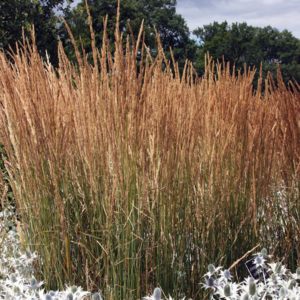 Вейник остроцветковый «Karl Foerster» - Calamagrostis x acutiflora «Karl Foerster»