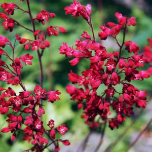 Гейхера кроваво-красная «Ruby Bells» - Heuchera sanguinea «Ruby Bells»
