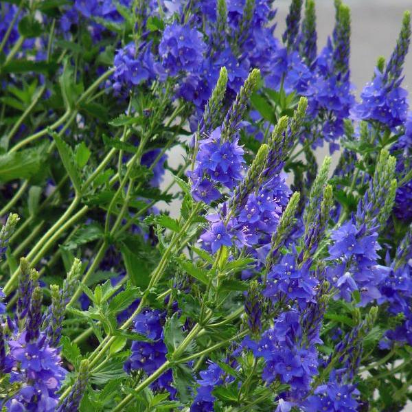 Вероника австрийская «Royal Blue» - Veronica austriaca «Royal Blue»