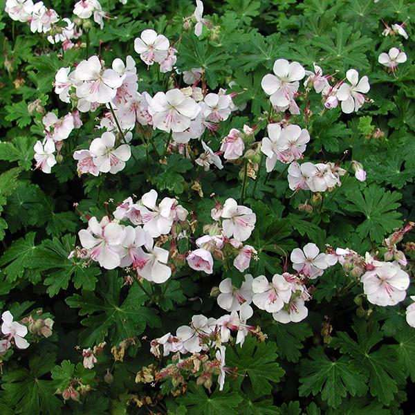 Герань кембриджская «Biokovo» - Geranium x cantabrigiense «Biokovo»