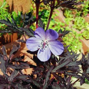 Герань луговая «Hocus Pocus» - Geranium pratense «Hocus Pocus»