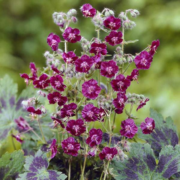 Герань темная «Samobor» - Geranium phaeum «Samobor»