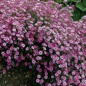 Гипсофила ползучая «Rosea» - Gypsophila repens «Rosea»