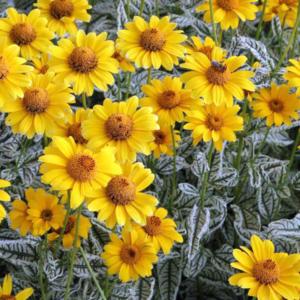 Гелиопсис подсолнечниковидный «Loraine Sunshine» - Heliopsis helianthoides var. scabra «Loraine Sunshine»
