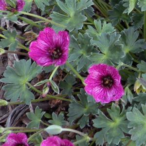 Герань серая «Purple Pillow» - Geranium cinereum «Purple Pillow»