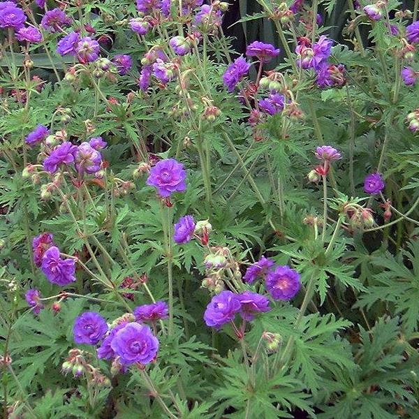 Герань луговая «Plenum Violaceum» - Geranium pratense «Plenum Violaceum»
