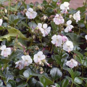 Герань кембриджская «St. Ola» - Geranium x cantabrigiense «St. Ola»