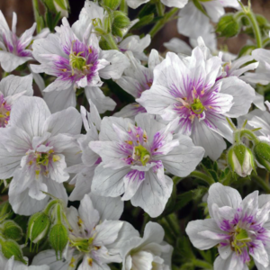 Герань луговая «Double Jewel» - Geranium pratense «Double Jewel»