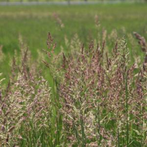 Двукисточник тростниковый - Phalaris arundinacea