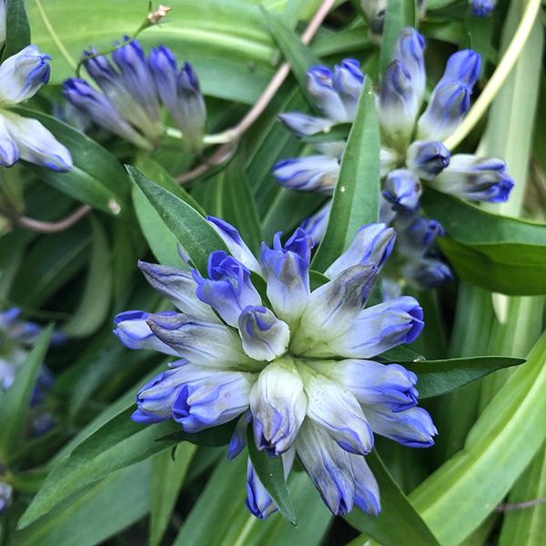 Горечавка даурская - Gentiana dahurica