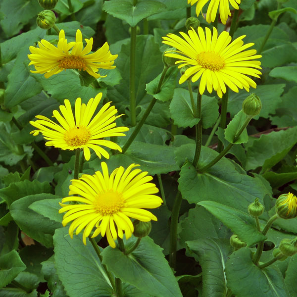Дороникум восточный - Doronicum orientale