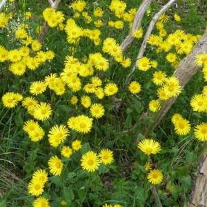 Дороникум подорожниковый - Doronicum plantagineum