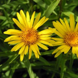 Девясил меченосный - Inula ensifolia