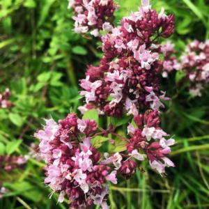 Душица обыкновенная - Origanum vulgare