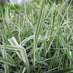 Двукисточник тростниковый расписной - Phalaris arundinacea var. picta