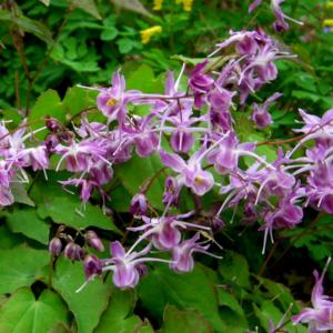 Горянка крупноцветковая «Lilafee» - Epimedium grandiflorum «Lilafee»