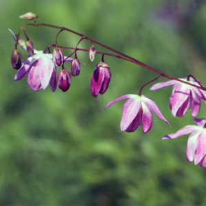Горянка пышная «Roseum» - Epimedium x youngianum «Roseum»