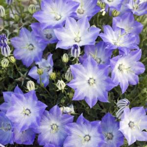 Колокольчик карпатский «Pearl Light Blue» - Campanula carpatica «Pearl Light Blue»