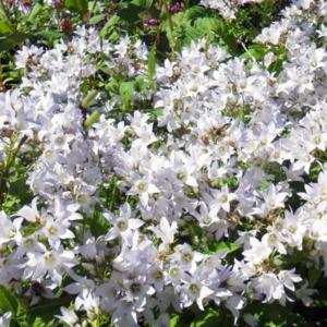 Колокольчик молочноцветковый - Campanula lactiflora