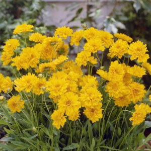 Кореопсис крупноцветковый «Early Sunrise» - Coreopsis grandiflora «Early Sunrise»