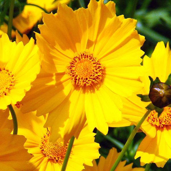 Кореопсис крупноцветковый - Coreopsis grandiflora