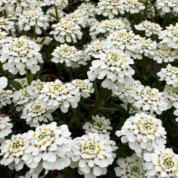 Иберис вечнозеленый «Alexander's White» - Iberis sempervirens «Alexander's White»