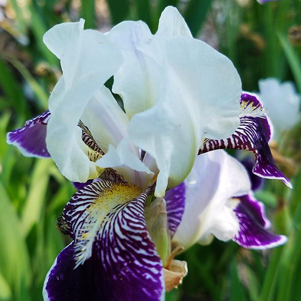 Ирис бородатый «Consummation» - Iris Bearded «Consummation»
