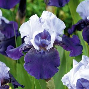 Ирис бородатый высокий «Best Bet» - Iris Bearded Tall «Best Bet»