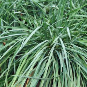 Келерия сизая - Koeleria glauca