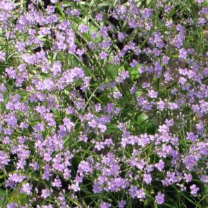 Кермек широколистный - Limonium platyphyllum