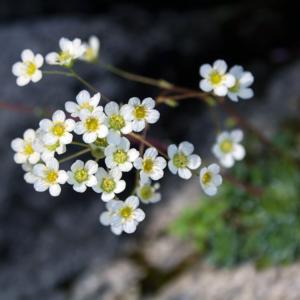 Камнеломка метельчатая - Saxifraga paniculata