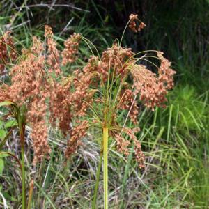 Камыш сытьевый - Scirpus cyperinus