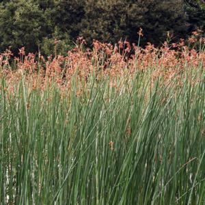 Камыш озерный - Scirpus lacustris