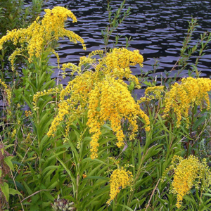 Золотарник канадский «Golden Baby» - Solidago canadensis «Golden Baby»