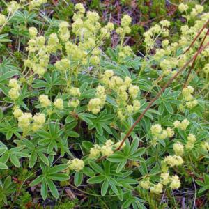 Манжетка альпийская - Alchemilla alpina