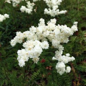 Лабазник обыкновенный «Multiplex» - Filipendula vulgaris «Multiplex»