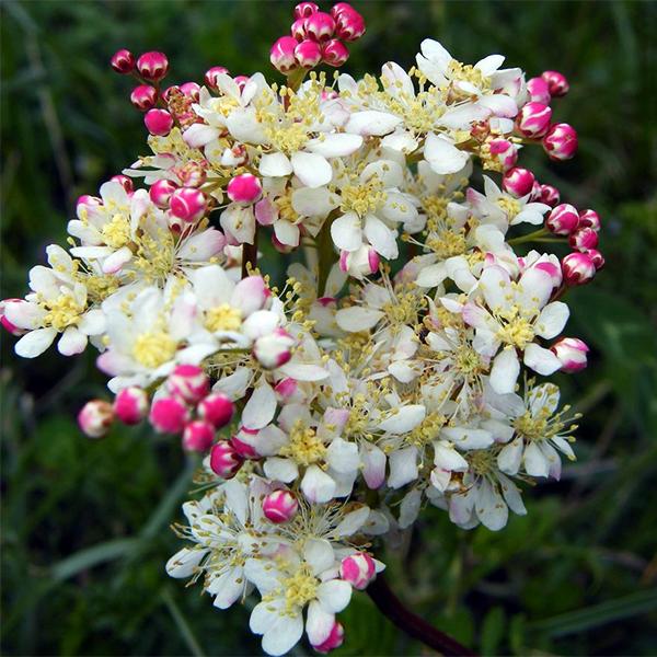 Лабазник обыкновенный - Filipendula vulgaris