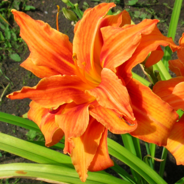 Лилейник гибридный «Apricot Beauty» - Hemerocallis x hybrida «Apricot Beauty»