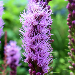 Лиатрис колосковый «Floristan Violet» - Liatris spicata «Floristan Violet»