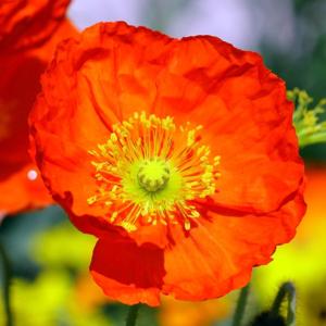 Мак голостебельный «Spring Fever Red» - Papaver nudicaule «Spring Fever Red»