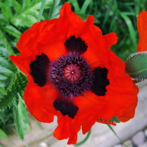 Мак восточный «Brilliant» - Papaver orientale «Brilliant»