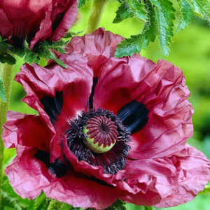 Мак восточный «Patty's Plum» - Papaver orientale «Patty's Plum»