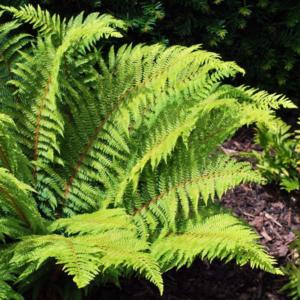 Многорядник шиповатый - Polystichum aculeatum