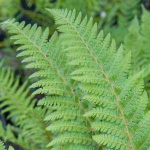 Многорядник Брауна - Polystichum braunii