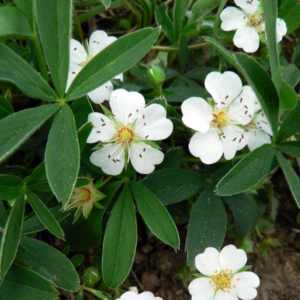 Лапчатка белая - Potentilla alba
