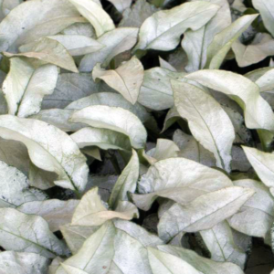 Медуница сахарная «Majeste» - Pulmonaria saccharata «Majeste»