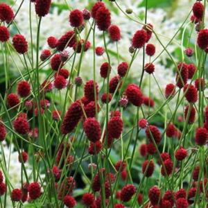 Кровохлебка лекарственная - Sanguisorba officinalis