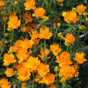 Купальница китайская «Golden Queen» - Trollius chinensis «Golden Queen»