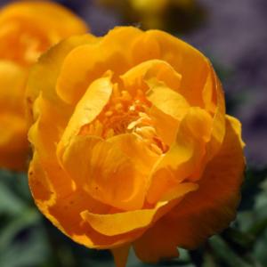 Купальница культурная «Orange Princess» - Trollius x cultorum «Orange Princess»