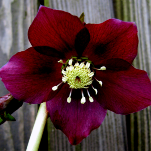 Морозник восточный «Red Lady» - Helleborus orientalis «Red Lady»